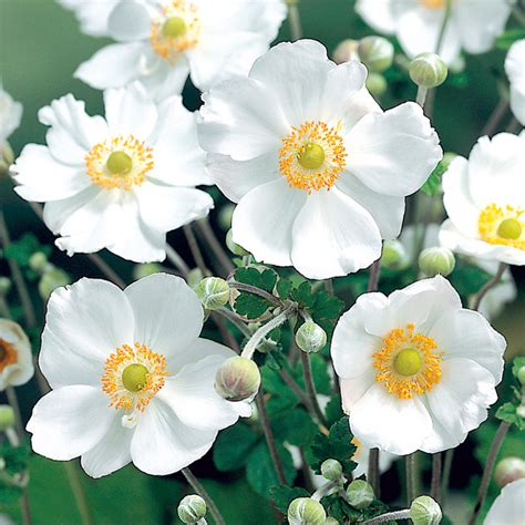 anemone plant honorine jobert dobies