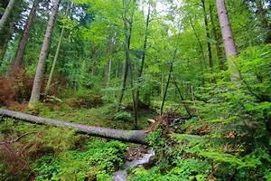 Fallen, Tree, Wild, Forest, Woods, In, Carpathian, Mountains