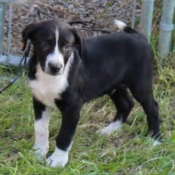 denver medium male border collie x australian cattle dog