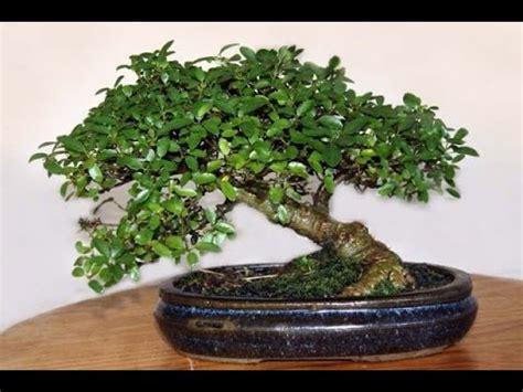 ficus ginseng bonsai ginseng grafted ficus bonsai tree