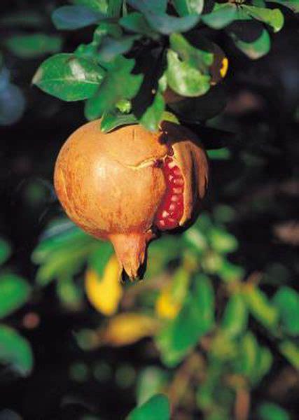 companion plants  pomegranates  images