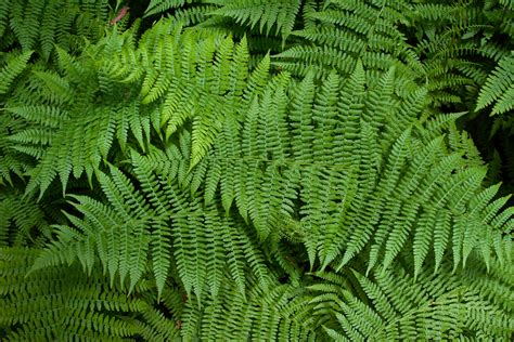 ferns species file sa fern jpg
