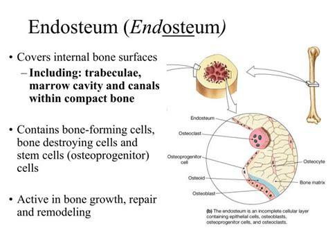 ppt chapter 6 part i bones and skeletal tissues