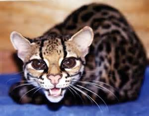 tiger cat margay the tiger cat damn cool pictures