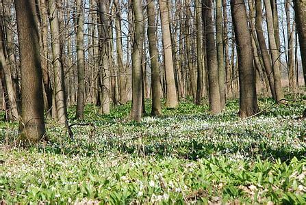Bezmaksas foto: sniegpulkstenīte, meža, Pavasaris, sniegpulkstenīte pavasara, daba | Hippopx