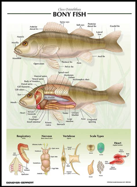 bony fish chart ctvalley bio