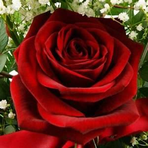 1 Rote Rose Bedeutung : blumenstrau ich liebe dich nach sorte blumenstr u e blumenversand blumen ~ Whattoseeinmadrid.com Haus und Dekorationen