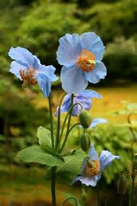 Himalayan Blue Poppy Flower