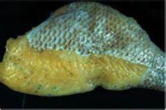Parasite Lab Images-Trematodes/Flukes Flashcards   Quizlet