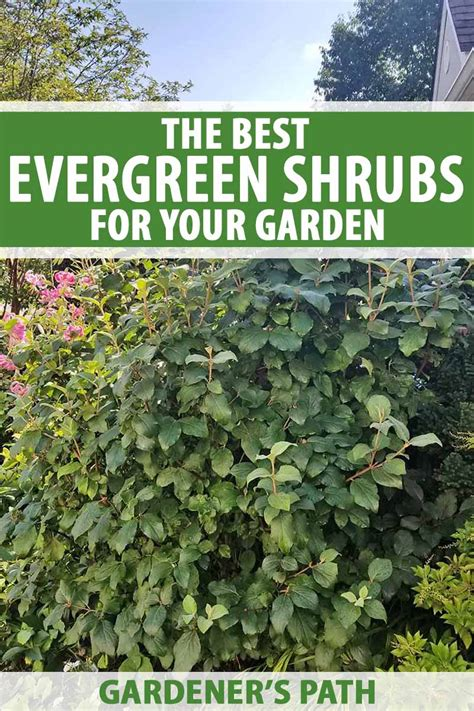 evergreen shrubs   garden gardeners path