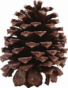 Dark Pine Cone transparent PNG - StickPNG