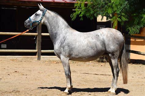 andalusian horse characteristics