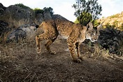 Iberian lynx beats extinction as cats are released to the ...