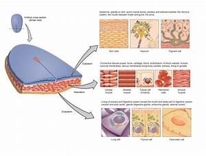4 1 Types Of Tissues  U2013 Anatomy  U0026 Physiology