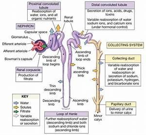 Kidney  Ktcg A U0026pcentral