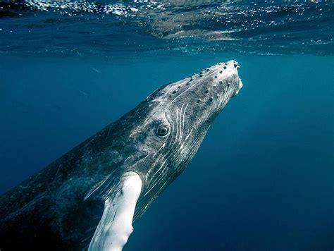 Humpback whale, Open Waters, Marine Mammals, Megaptera