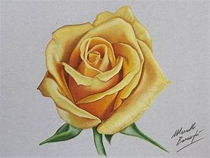 Yellow rose DRAWING by Marcello Barenghi by ...