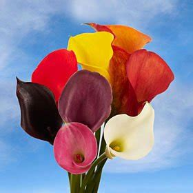 calla colors beautiful assorted color mini calla lilies 60 mini calla