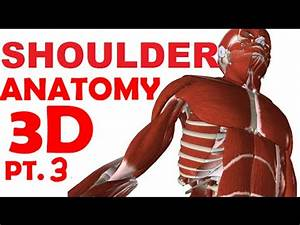 Shoulder Anatomy Part 3 - Rotator Cuff Muscles