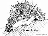 Beaver Lodge Dam Clipart Drawing Beavers Tracks Animal Coloring Paddle Lodges Parts Castor Activities Animals Sea Dams Drawings Kim Pages sketch template