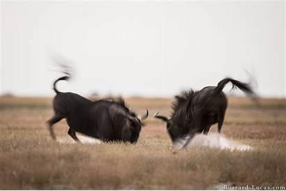 Fighting Wildebeest Burrard Lucas Enquire Lightbox Licensing