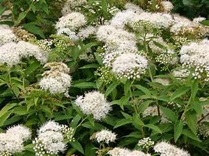 Unkraut Weiße Blüte : wei e zwergspiere 39 albiflora 39 spiraea japonica ~ Lizthompson.info Haus und Dekorationen