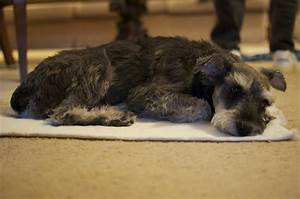 how treat cushings disease dogs