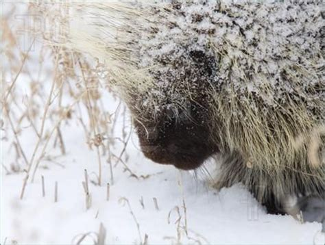 Porcupine Eating Pumpkin And Talking by 35 Best Images About Teddy Bear The Porcupine On Pinterest