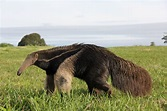Giant Anteater Facts, History, Useful Information and ...