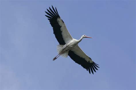 egypt police detain stork  spying  landing  nile