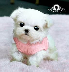 Pinterest'teki 25'den fazla en iyi Teacup maltese puppies ...