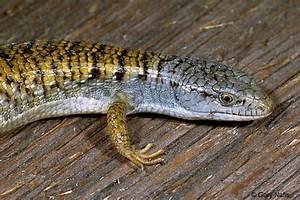 Shasta Alligator Lizard - Elgaria coerulea shastensis