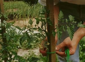 Comment Tuteurer Les Tomates : les techniques de tuteurage ~ Melissatoandfro.com Idées de Décoration