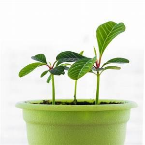 Euphorbia Trigona Vermehren : euphorbia vermehren so gelingt 39 s am besten wolfsmilchgew chse ~ Orissabook.com Haus und Dekorationen