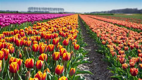 tulips bed farm hd tulips farm near the rutten town beautiful morning scenery in netherlands europe exported