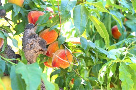 Diaries Sunflower Peach Festival Schnepf Farms