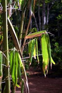 Bambus Im Winter : bambus vertrocknet was k nnen sie dagegen tun ~ Frokenaadalensverden.com Haus und Dekorationen