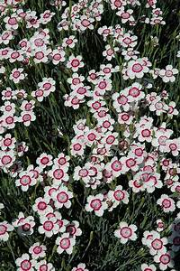 Arctic Fire Maiden Pinks (Dianthus deltoides 'Arctic Fire ...