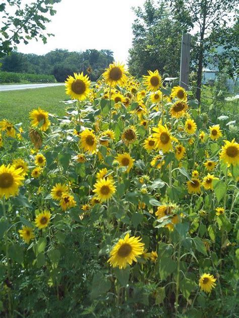 sun flower garden sunflower garden lawn and garden pinterest