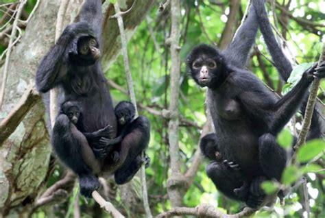 informacion sobre el mono arana informacion sobre animales