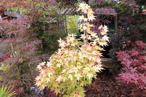 japanischer ahorn formschnitt japanischer ahorn schneiden der riskante pflanzenschnitt