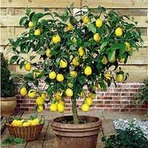 Meyer Lemon Citrus Trees Mature Perth WA