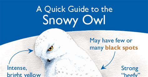 snowy owl quick guide