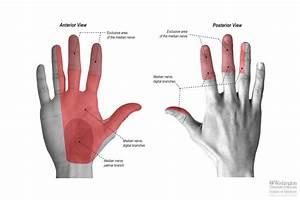 Common Palmar Digital Nerves