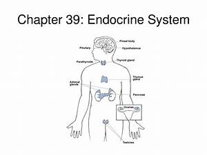 Endocrine System Diagram Unlabeled - Anatomy Organ