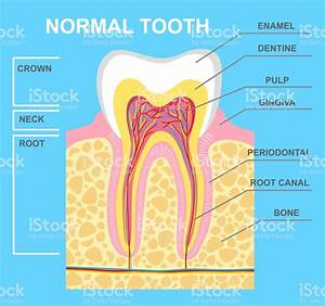 Human Tooth Diagram Stock Vector Art  U0026 More Images Of