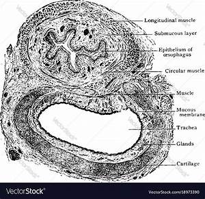 Transverse Section Of Trachea And Esophagus Vector Image