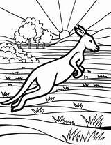 Australia Coloring Pages Kenguru sketch template