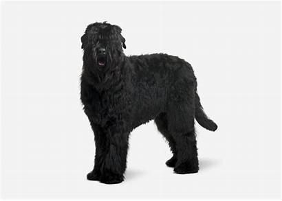 Russian Dog Terrier Breed Breeds Profiles Europetnet