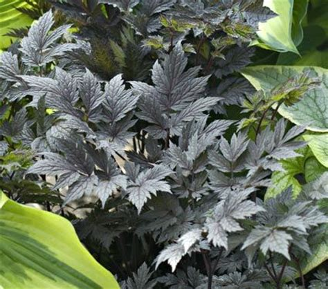 black leaved plants 17 best images about dark foliage plants on pinterest white flowers deep purple and pink flowers